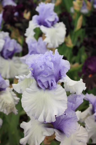 Iris med bølgete kronblad