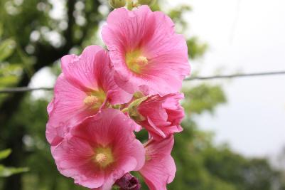 Stokkrose i en rosa nyanse