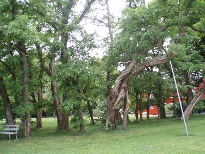 Vakre, gamle trær på Alby