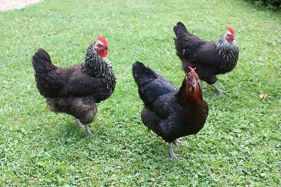 Sorte høner i hagen