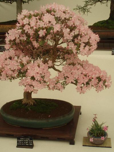 Bonsai i full blomst