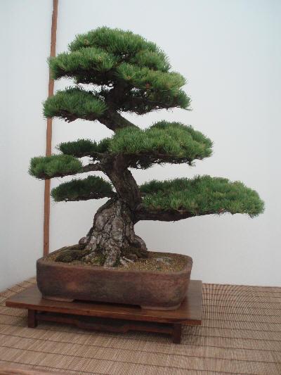 Bonsai av nåletre