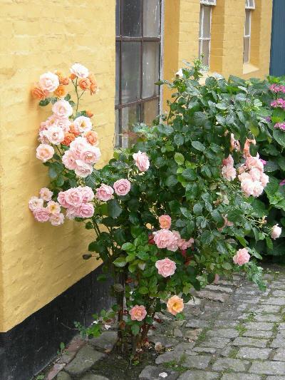 Vakre roser i Bornholm
