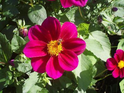 Rosa Dahlia med bie