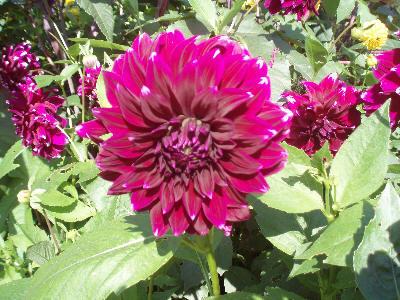 Vakker mørk rosa Dahlia