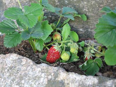 Norske jordbær er selve smaken på sommeren