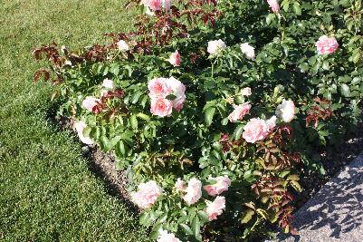 Vakkert rosebed