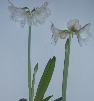 Amaryllis i full blomst