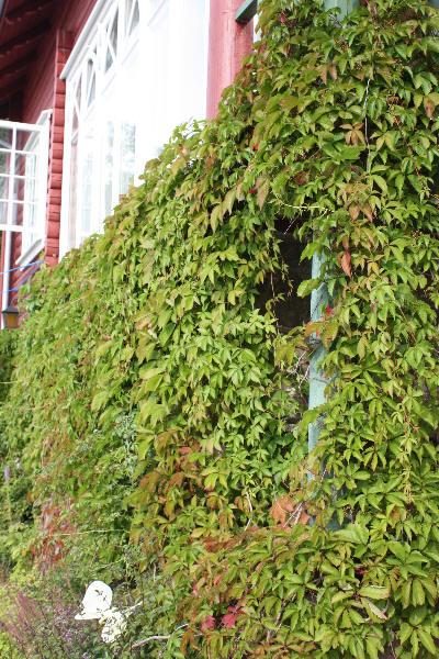 Villvin oppover veggen
