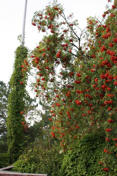 Rognebærtre med mengder av rognebær
