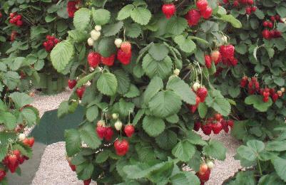 Hengende jordbær