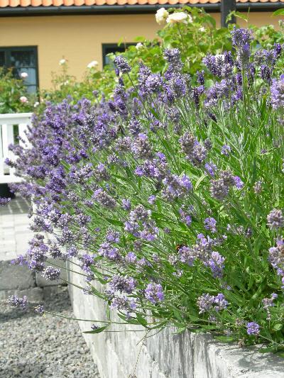 Lavendel på Bornholm