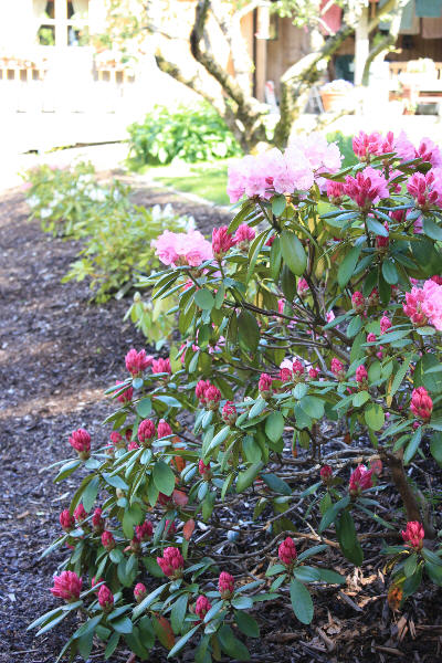 Eget Rhododendron-bed