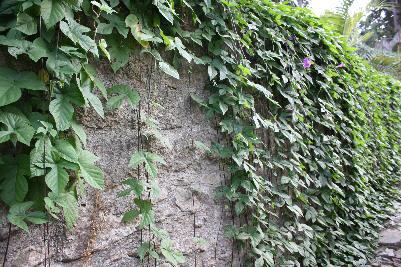 Hagemur med hengeplanter