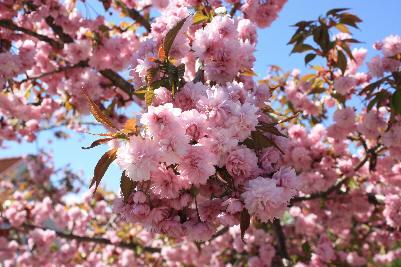 Trær med rosa blomster