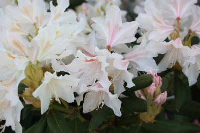 Hvit Rhododendron