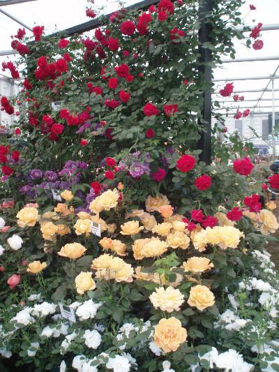 Roser på Chelsea Flower Show