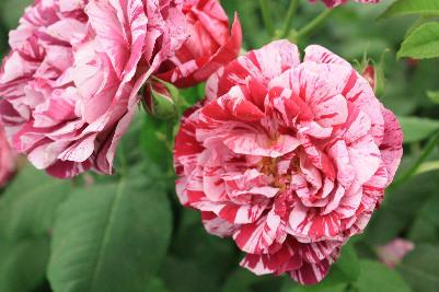 Fra Chelsea Flower Show'09