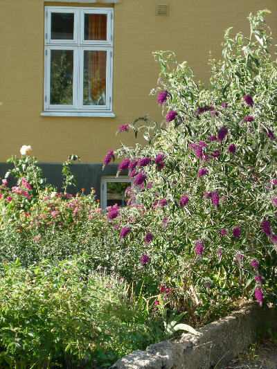 Sommerfuglbusk på Bonrholm