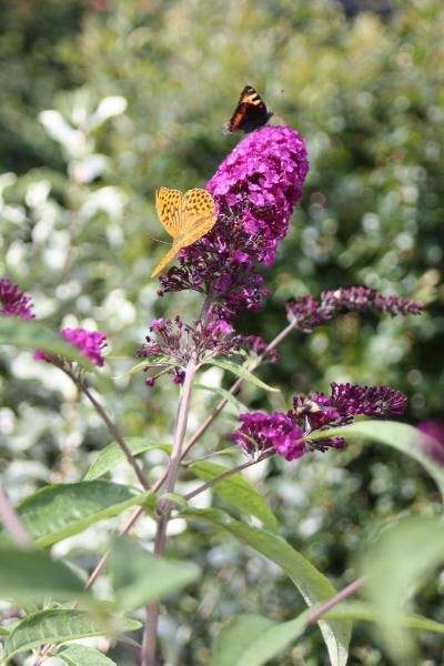 Sommerfuglbusk med sommerfugler