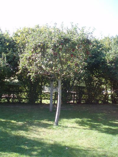 Epletrær i Frankrike