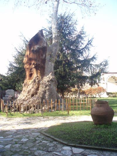 gammelt tre i Istanbul