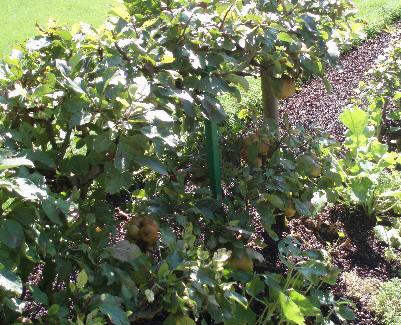 Oppstammede epletrær i Monets Hage