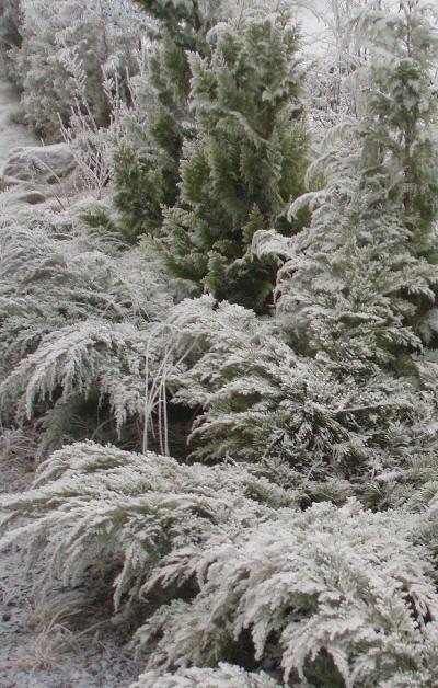 Vinterbilde av hekk