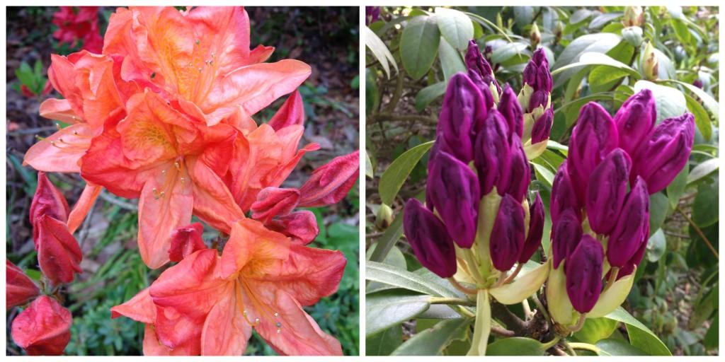 Rhododendron for hager og parker