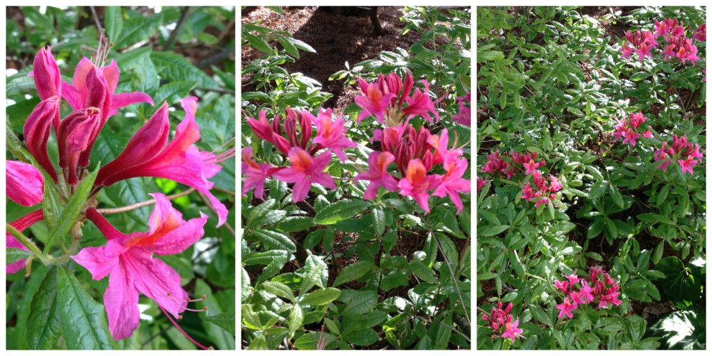 Rhododendron Gloria Mundi