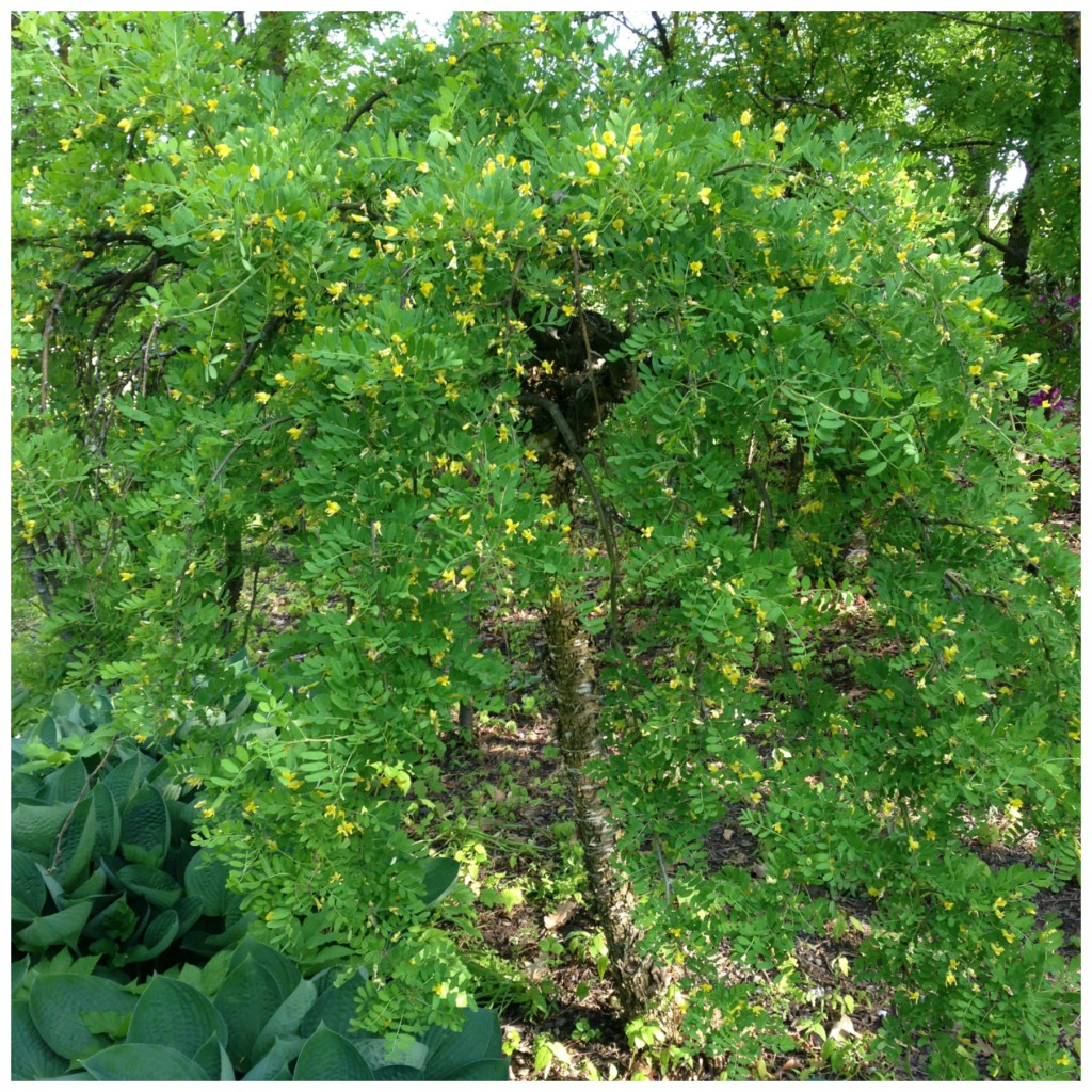 Sibirertebusk med hengende vakre hengende greiner