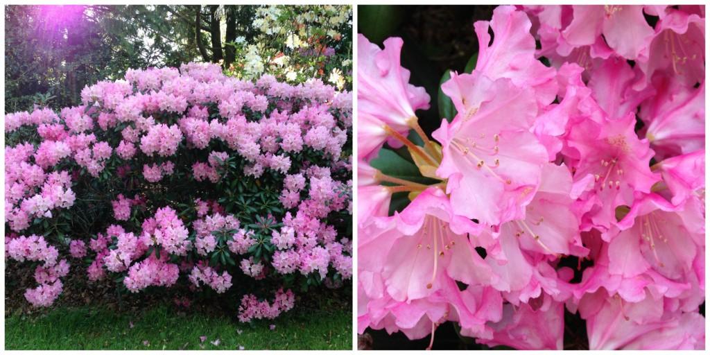 Rhododendron yakushimanum