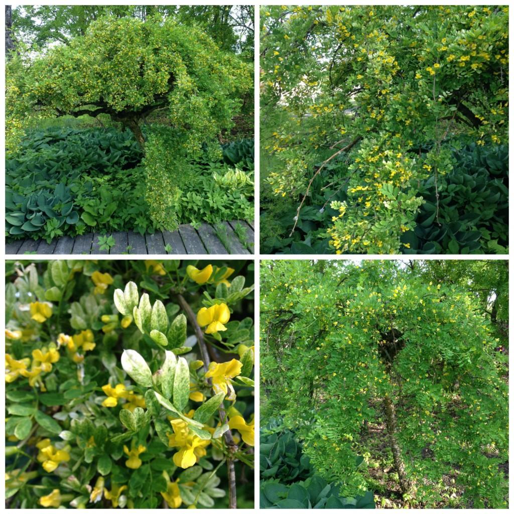 En busk for norske hager