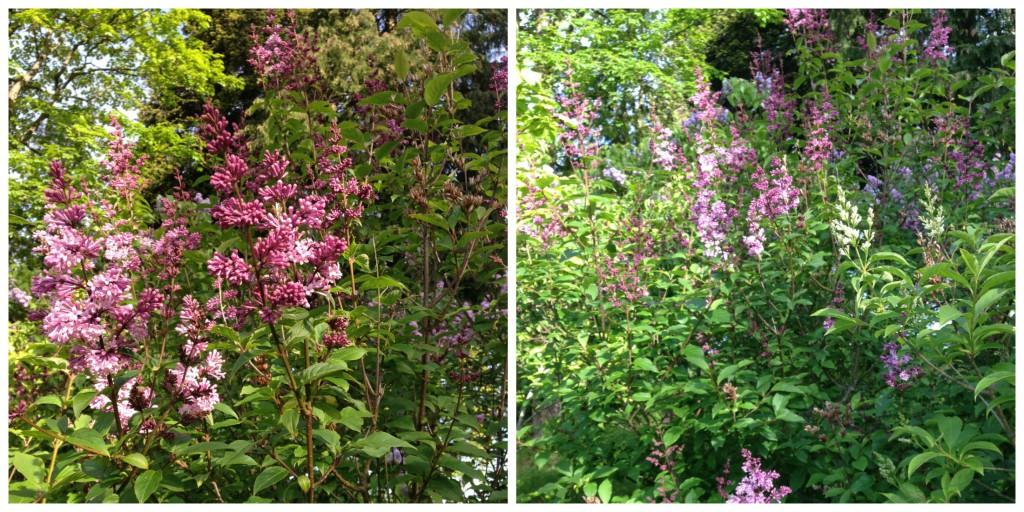 Sarte og rosa