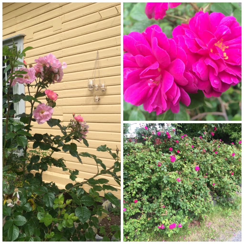 Rosehekk og rosa roser på Rød Gård